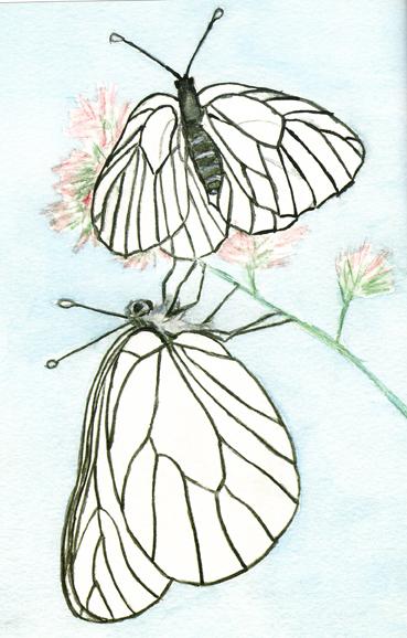 (Aporia crataegi L.)